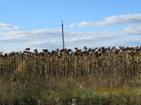 Dead sunflower fields on the outskirts of Dubno.